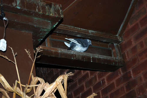 A Bensonhurst Pigeon ©Frank H. Jump